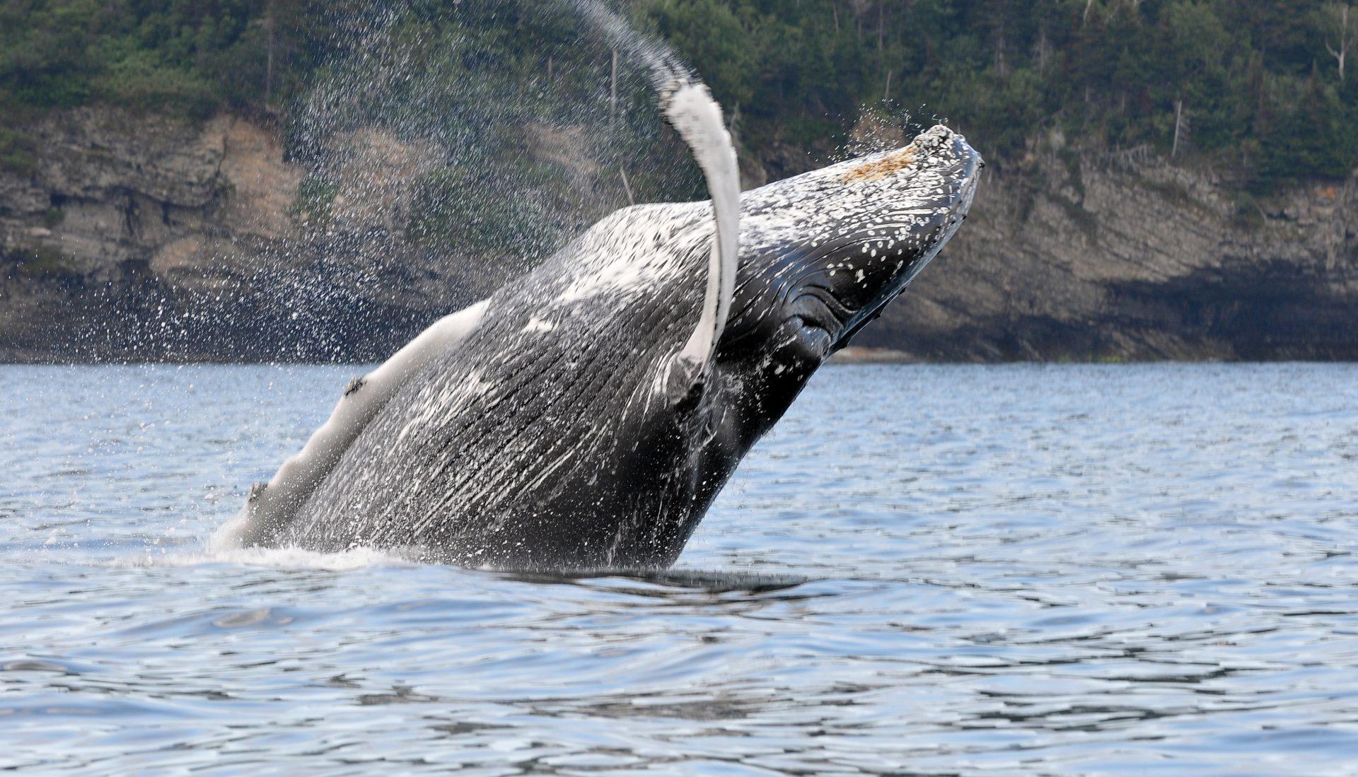 Croisières Baie de Gaspé, observation de baleines
